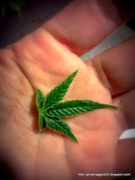 A Cannabis leaf in my hand
